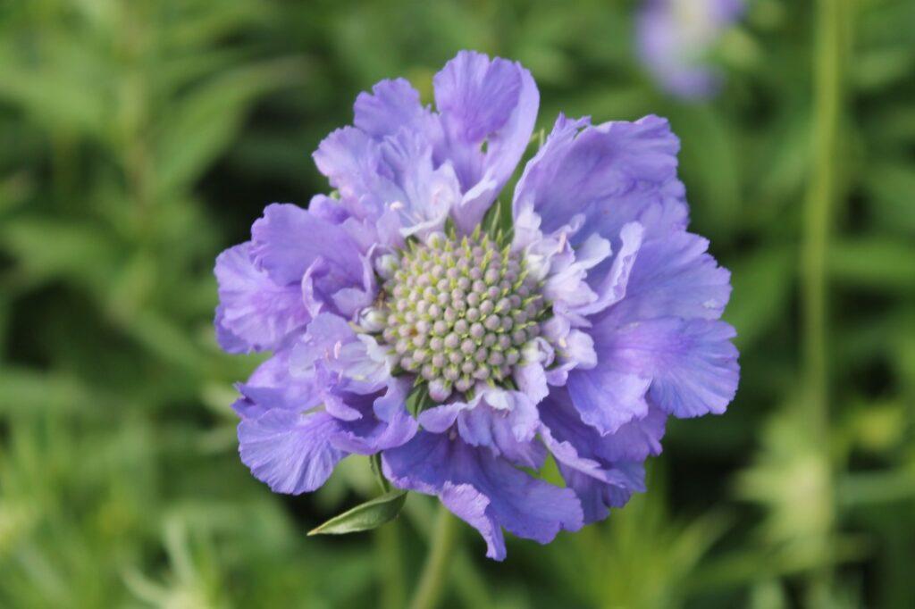 Blomsterodling